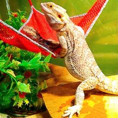 find this pin and more on bearded dragon resting bed by jocelyn mixon20  whole set hammock 4 baby bearded dragon   mercari  anyone can buy      rh   pinterest