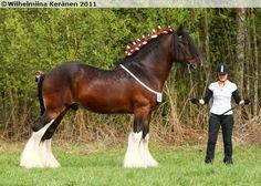 Shire - stallion Phoenix Charlie