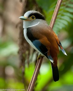Silver Breasted Broadbill: is found in Bangladesh, Bhutan, Cambodia, China, India, Indonesia, Laos, Malaysia, Myanmar, Nepal, Thailand, and Vietnam.