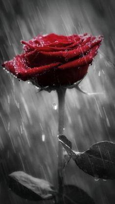 Beautiful Red Roses Images, Beautiful Girl Wallpaper, Beautiful Rose Flowers, Beautiful Flowers Wallpapers, Pretty Wallpapers, Exotic Flowers, Black And Red Roses, Blue Roses, Black Background Wallpaper