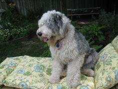 Sunbathing in the back yard  #Old English Sheepdog