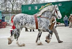 what a stunning dapple grey Percheron. I like they left his mane down too.