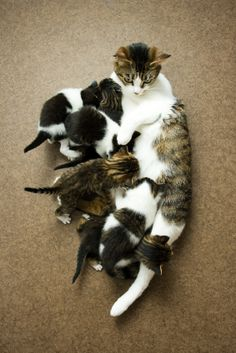 Are planning on breeding your queen? A well-fed #cat is necessary to create a healthy #kittens.