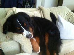 Sleepy berner.