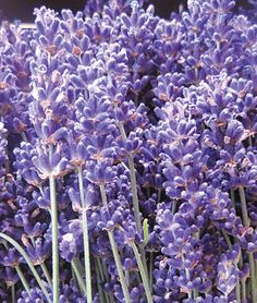 SuperBlue PPAF Lavender Seeds - Perennial Flowers Seeds and Plants at Burpee.com