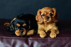 Ruby & Black & Tan Cavalier King Charles Spaniel Puppies