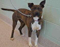 Macon Bibb Co GA - Status Unknown - Please Keep Sharing - HERSHEY - ID#A251539 My name is HERSHEY. I am a female, brown brindle and white Pit Bull Terrier mix. The shelter staff think I am about 2 years old. I have been at the shelter since Mar 11, 2015.