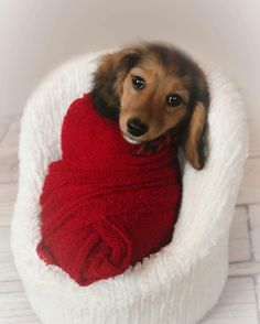 Looking for an original Doxie ? Shop it via link in my bio @doxiecentral.tv  From @doxiefever Burrito Pup.   --  CHECK OUT @MavericksMarket for great dog mom gift ideas!   --  Pup Model: @rico_thedachshund  ----------------------  ..