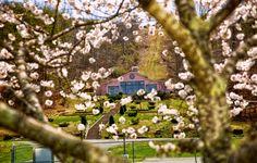 Kailash through Cherry Blossoms Photo by Sister Gayatri Copyright Satchidananda Ashram, Yogaville