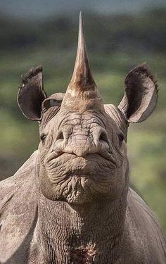 Rhinocéros - Female Tutorial and Ideas Nature Animals, Animals And Pets, Cute Animals, Wildlife Nature, Nature Nature, Beautiful Creatures, Animals Beautiful, Hello Beautiful, Especie Animal