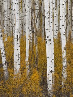 Photographic Print: Aspens in Gunnison National Forest Colorado, USA by Charles Gurche : Forest Painting, Forest Art, Tree Forest, Birch Forest, Birch Trees, Pikes Peak, Landscape Photography, Nature Photography, Flower Photography