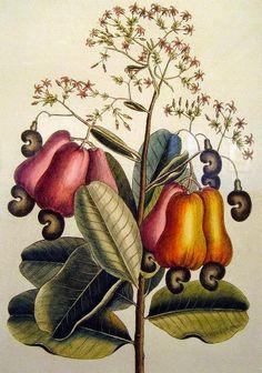 Olímpia Reis Resque: Viajantes: Cajueiro  Texto de Richard Spruce (1817-1893) sobre o cajueiro e seu fruto. Ilustração de  Mark Catesby -   Sec. XVIII. No Blog!