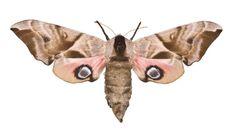 Smerinthus ocellata, eyed hawk moth, dried specimen