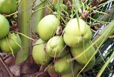 Nutritional Benefits of Eating Green Coconuts