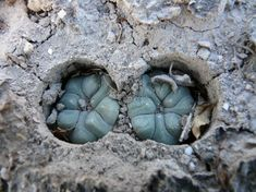 Lophophora koehresii, San Bartolo