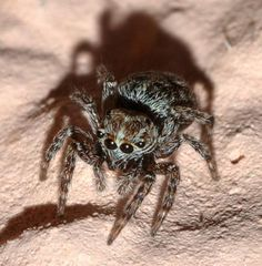 How Do Jumping Spiders Jump?