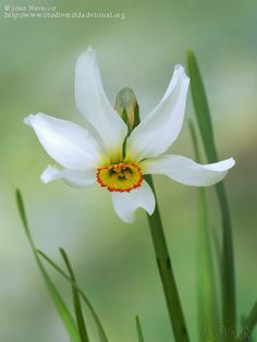 the ancient, beautiful and highly scented Pheasant's Eye narcissus, beloved of Elizabethan gardeners and still grown today