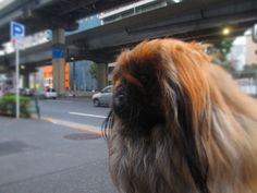 http://ameblo.jp/mamijiro0922/ my peke MAMIJIRO 愛犬のペキニーズ・マミジロウ
