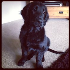 Our beautiful flatcoated retriever, Digby!