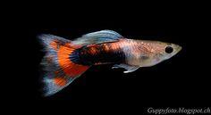 Guppyfoto: F1: Red Scarlet Endler male x Albino halfblack whi...