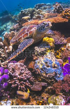 Green Sea Turtle sitting on a colorful coral reef underwater in the ocean