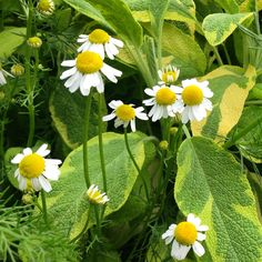 Garden herb bed: Chamomile growing with sage. t. pulido