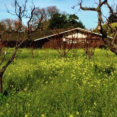Mustard field among the Oak trees. 2/16