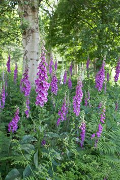 Foxgloves, Digitalis purpurea growing amongst ferns in shaded area with trees. Rock Flowers, Shade Flowers, Wild Flowers, Purple Flowers, Pink Purple, Woodland Plants, Woodland Garden, Garden Shrubs, Shade Garden