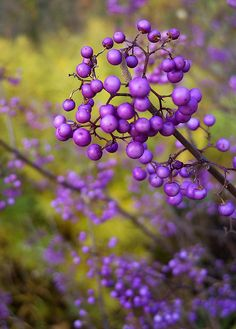 Japanese Beautyberry is a shrub with purple berry fruits. Berries are not edible. Hardy to zone 5a (-28) height and width is  36-48 inches. Requires full sun to partial shade and neutral to acidic soil. Blooms mid summer