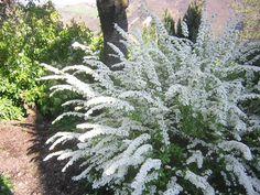 Image detail for -Spirea Bridal Wreath (Spirea x vanhouttei)