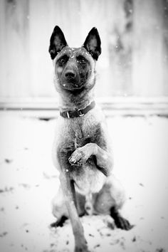 Epic the Belgian Malinois! <3