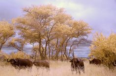IR Buffalo by Keith Groenewald
