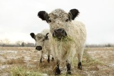 Two White Cows French Country @lucysnowephotography