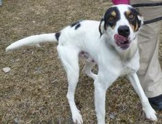 Chuck is an adoptable Setter Dog in Stanton, MI. Meet Chuck! A 1- 2 year old Setter mix boy. Chuck was picked up as a stray on March 28th and will be avaliable after April 4th to go to a new home! He...