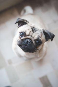 Pug   PetSync