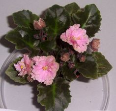 African Violet Rob's Antique Rose Semi Miniature Plant in Pot ~ I really like the leaves on this one.