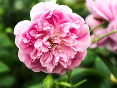 'Harlow Carr' is a tough rose with shallow cups of rose pink. It has a strong, pure Old Rose scent.