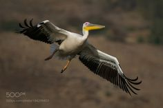Pelican in flight... by Thalia #animals #animal #pet #pets #animales #animallovers #photooftheday #amazing #picoftheday