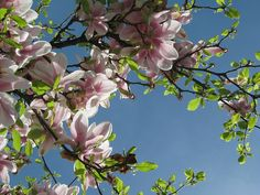Spring flowers, public domain | Tree, Flower, Spring, Magniolie - Free image - 79287