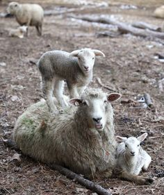 Little lambs love to jump on top of their mamas. From Getting Stitched on the Farm: sheep