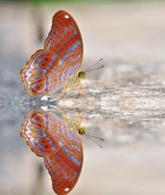 100 BUTTERFLY PICTURES and BIG BUTTERFLY IMAGES