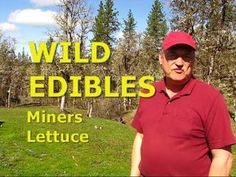 WILD EDIBLES - Miners Lettuce