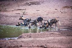 Wild dogs at Limpopo-Lipadi!