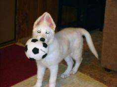 White German Shepherd puppy from Guardian Angel Shepherd's in Nescopeck PA. USA  www.guardianangelshepherds2.com