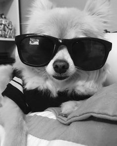 "16 Likes, 1 Comments - Jessica Le (@gorjessle) on Instagram: ""#pomeranian #doggy #dogphotography #dogoutfit #dogsunglasses #cool #blackandwhite"""