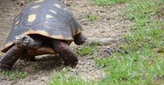 Tortue-charbonniere-a-pattes-rouges-Chelonoidis-carbonaria-Geochelone-carbonaria-Red-footed-tortoise