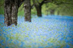 春を知らせる空色の小花 Forget-me-not・ワスレナグサ - GardenStory (ガーデンストーリー)