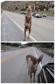Bam Bam, the Bighorn Sheep Attacks Toyota 4Runner! Click to watch this unbelievable video! #spon #omg