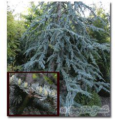 Cedrus atlantica 'Cheltenham' Weeping Evergreen Trees, Garden Nursery, Blue Leaves, Garden Trees, Growing Tree, Types Of Plants, Dwarf, Blossoms, Shrubs