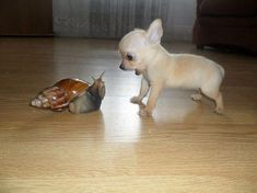 Snail confronted with a Chihuahua puppy!